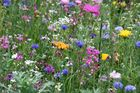 unsere Blumenwiese in Bornstedt