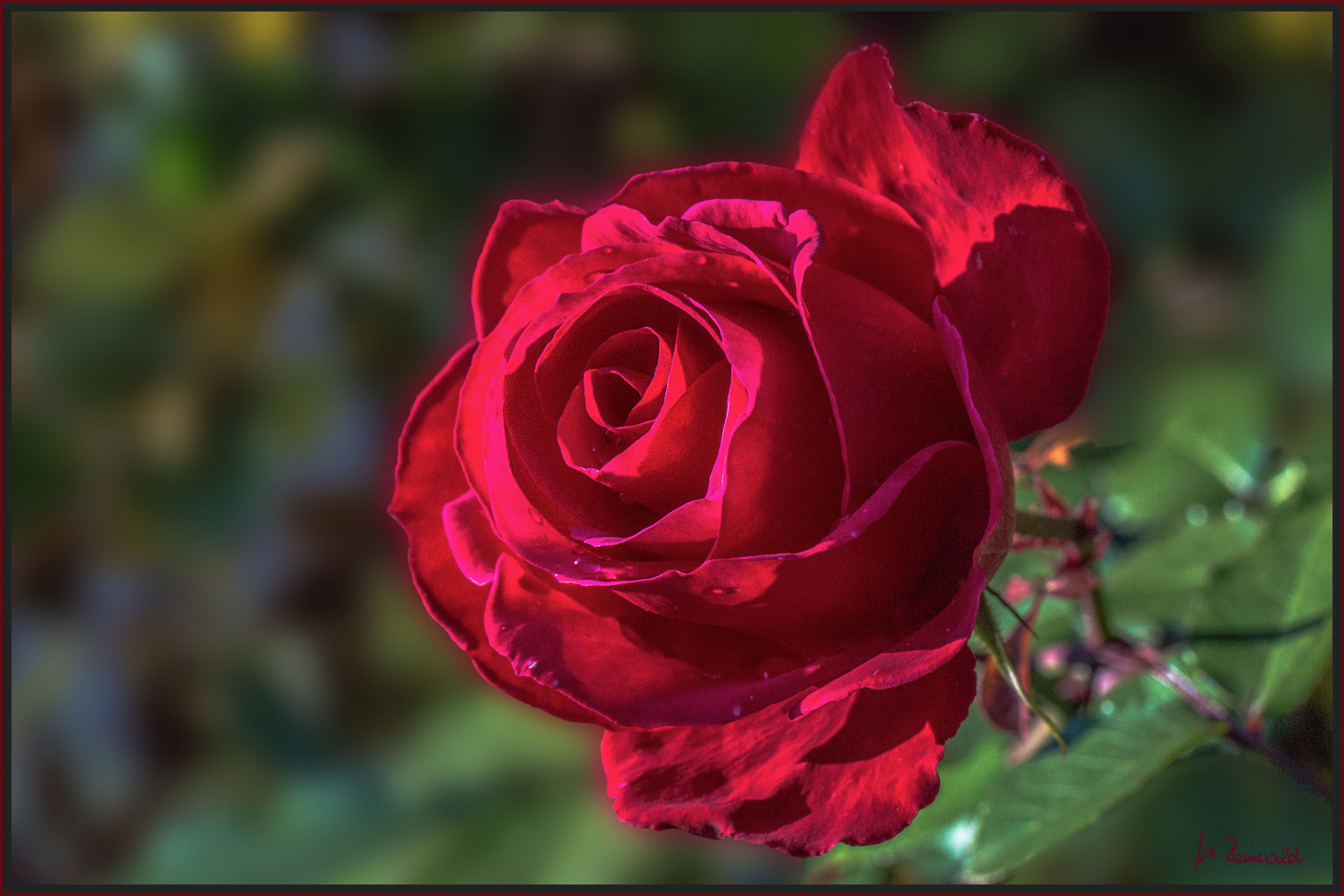 Unsere endgültig letzte Rose
