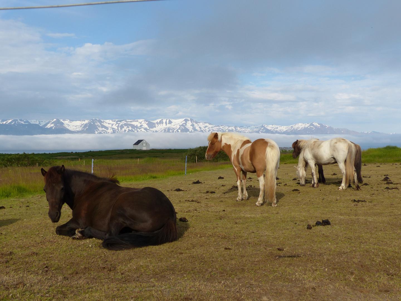 unsere ersten Islandpferde - da kommt man nicht weg