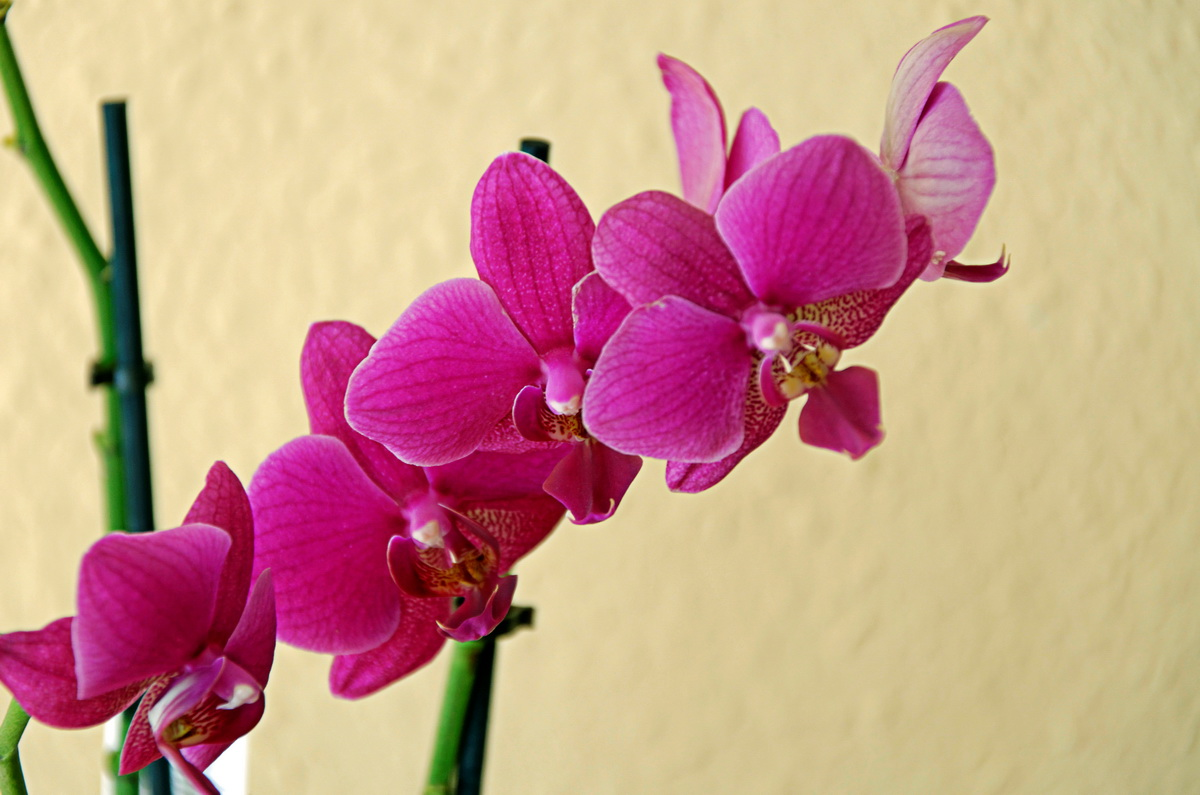 """Unsere """"Haus-Orchidee"""" - 2"""