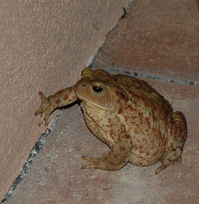 Unsere Hauskröte kommt jeden Abend und klopft an