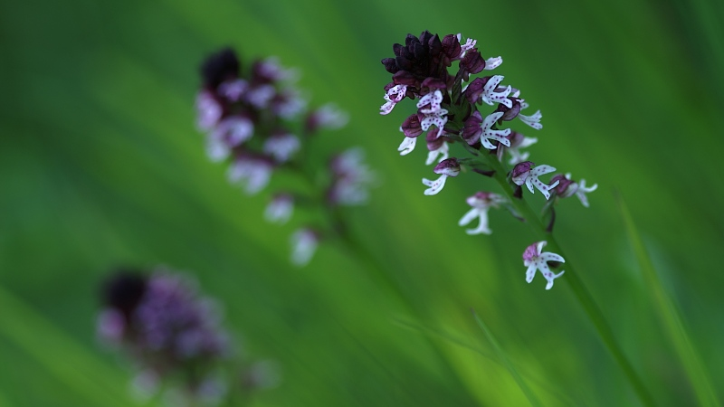 Unsere heimischen Orchideen: Brandknabenkraut