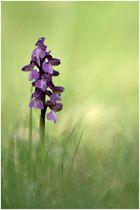 Unsere heimischen Orchideen: Kleines Knabenkraut