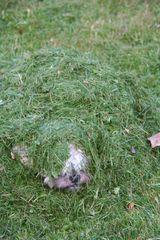 unsere kleine Shi-Tzu-Dame im Gras Haufen verschwunden