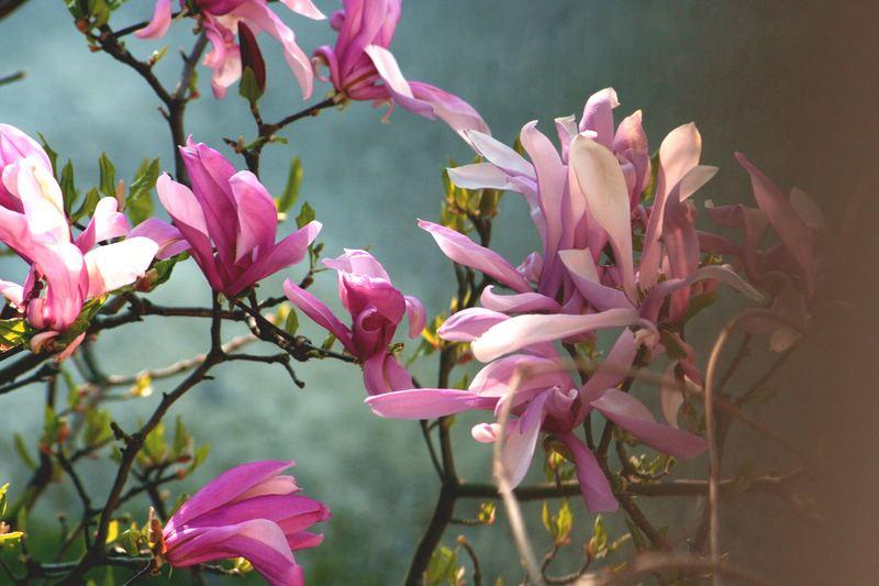 Unsere Magnolie im Morgenlicht....