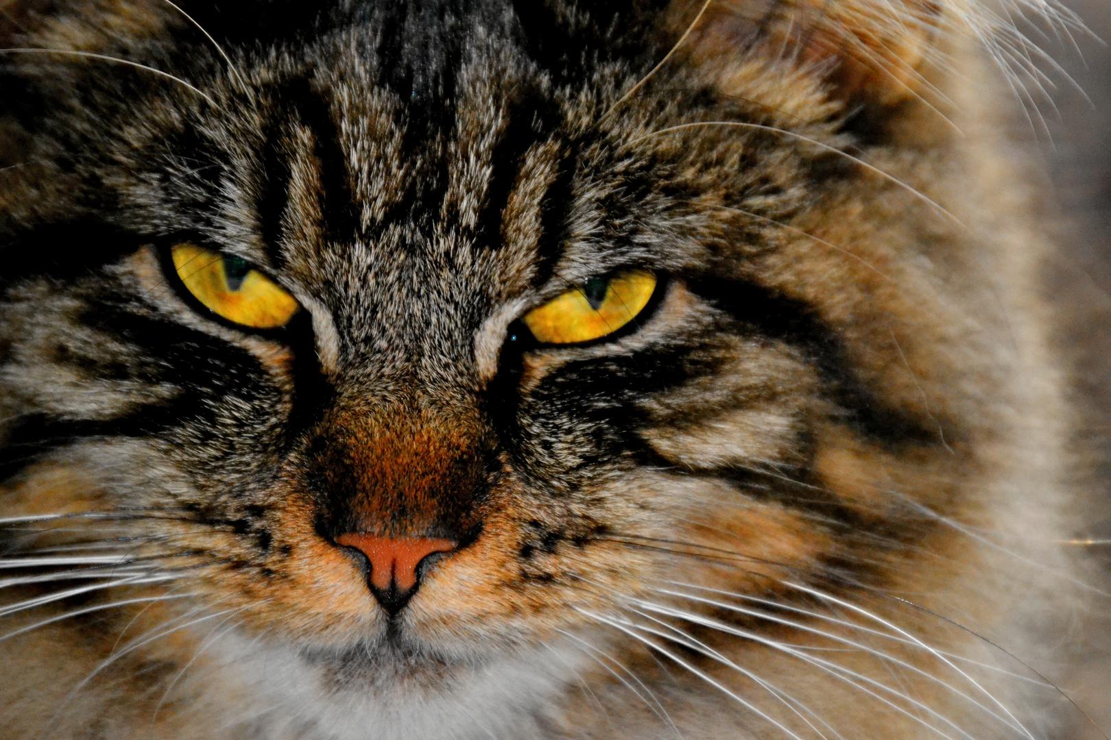 "Unsere Maine-Coon-Katze "" Mimikry """
