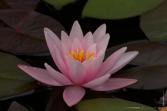 Unsere rosa farbene Teichrose...
