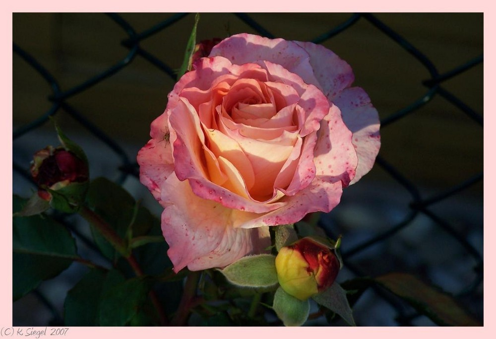 Unsere Rose ...