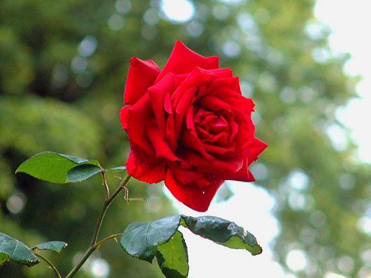 Unsere Rose im Garten