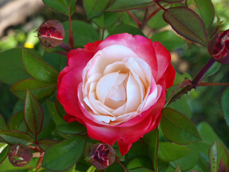 Unsere schönste Rose im Garten