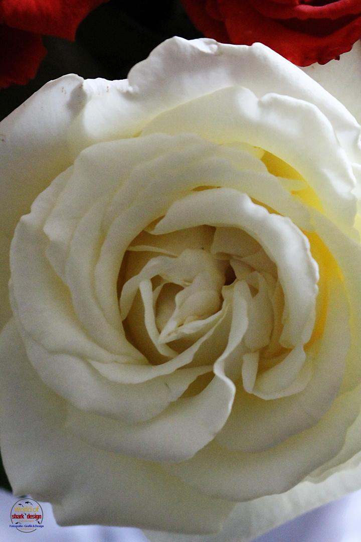 unsere schönsten Garten-Rosen