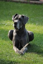 unsere Silbernase - Dogge Princess Blue