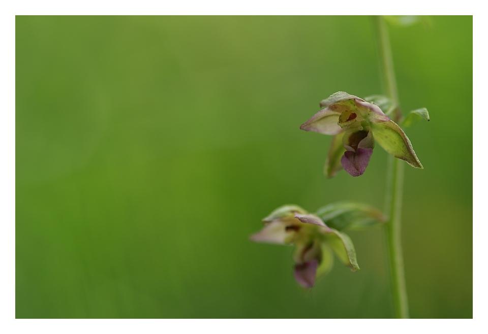 Unsrere heimischen Orchideen: Breitblättriger Sumpfstendel