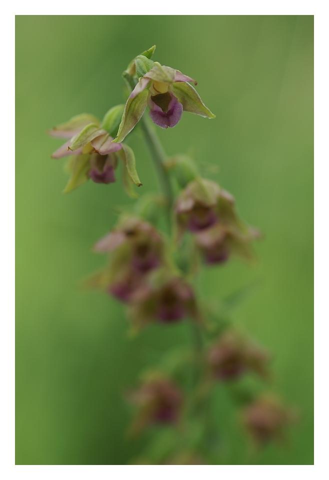 Unsrere heimischen Orchideen: Breitbl.Sumpfstendel