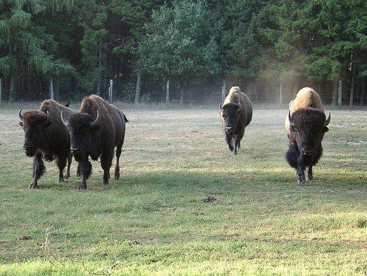 Unter Büffeln.