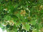 Unter einem Dach von Lindenblüten