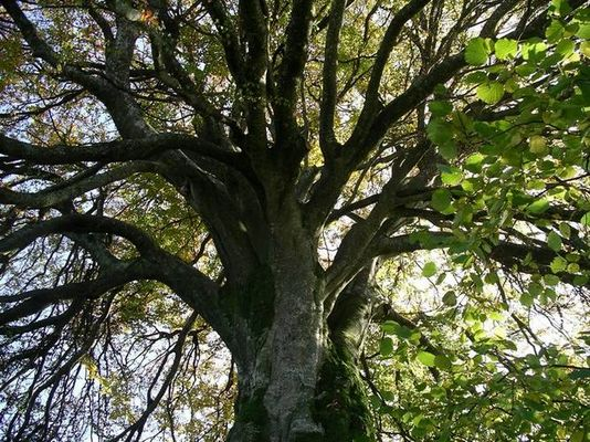 unter jenem Lindenbaum