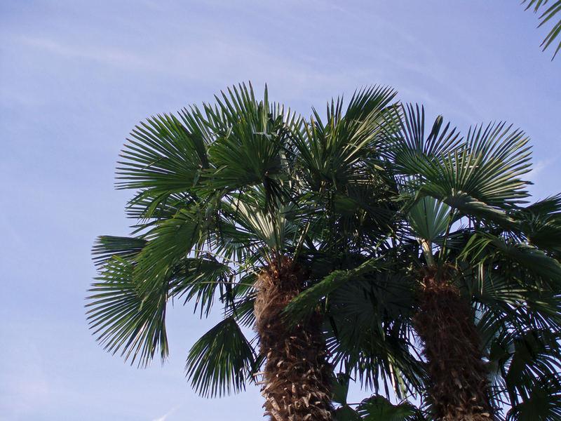 Unter Palmen liegen....