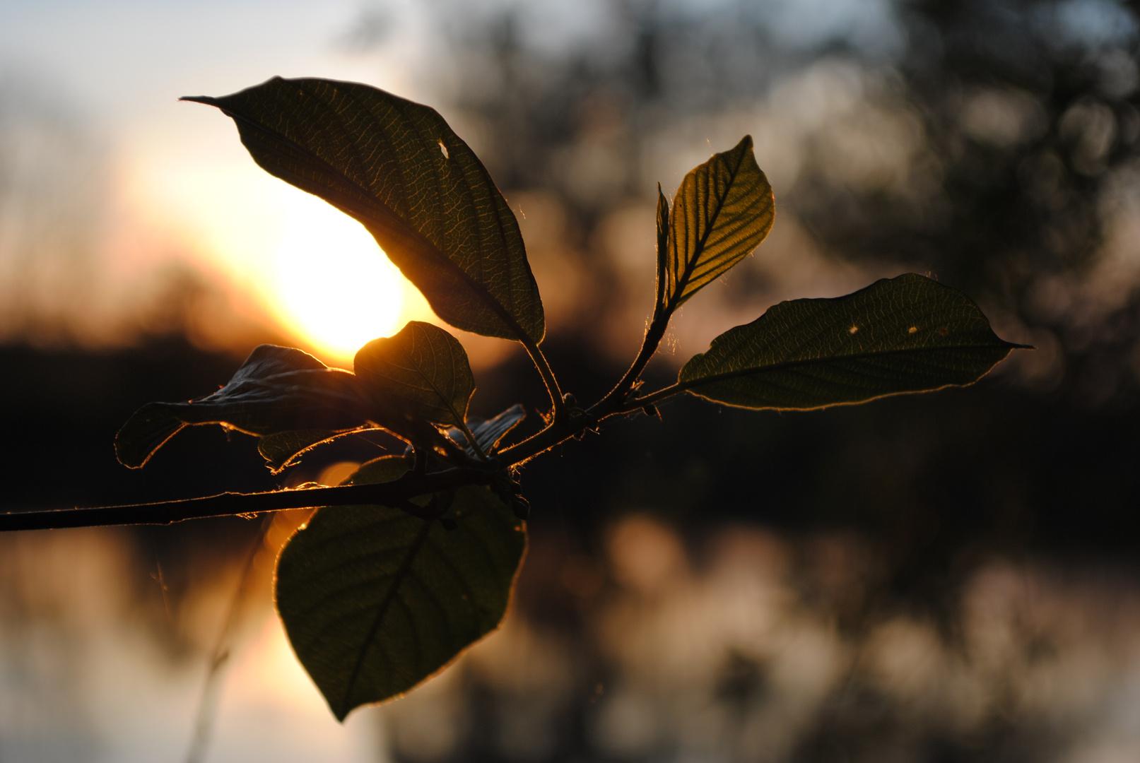 Untergehende Sonne hinter Blatt