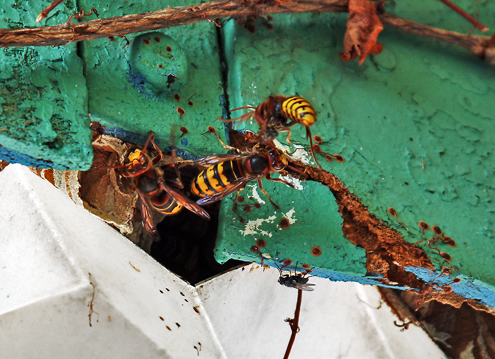 unterm dach der laube wohnen die hornissen nach denen katze frieda gestern schaute foto bild. Black Bedroom Furniture Sets. Home Design Ideas