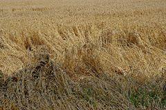 Unwetterschäden im Weizenfeld