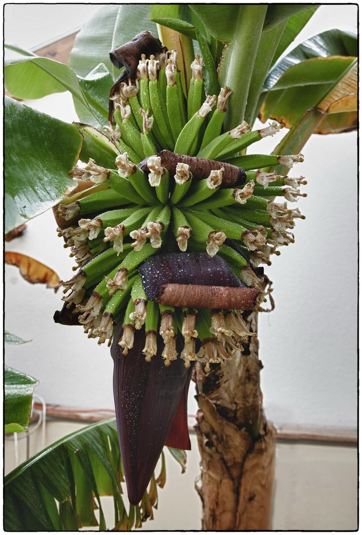 Update Austrian Bananas