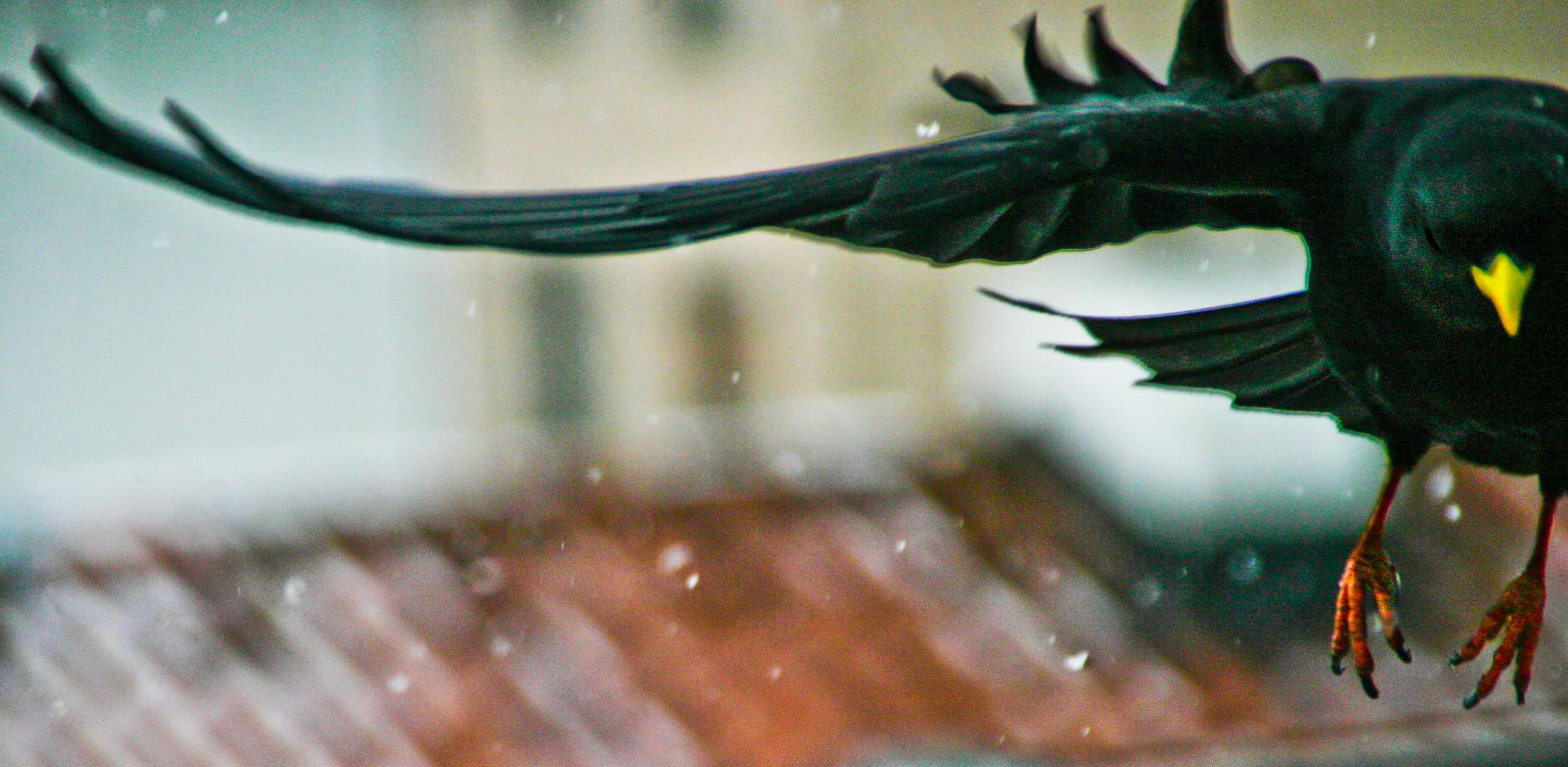 Urban interaction - Pyrrhocorax graculus