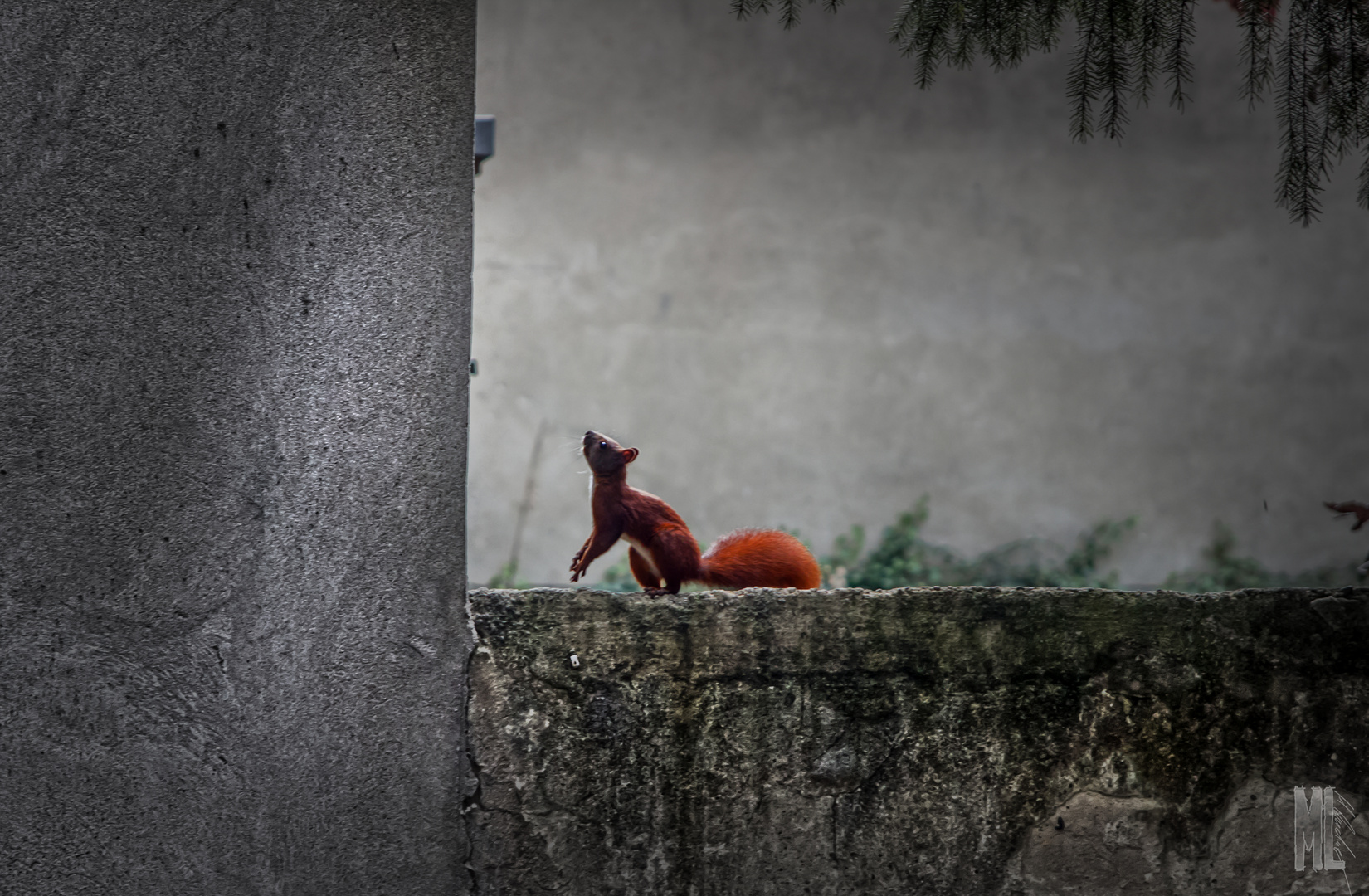 Urban Squirrel