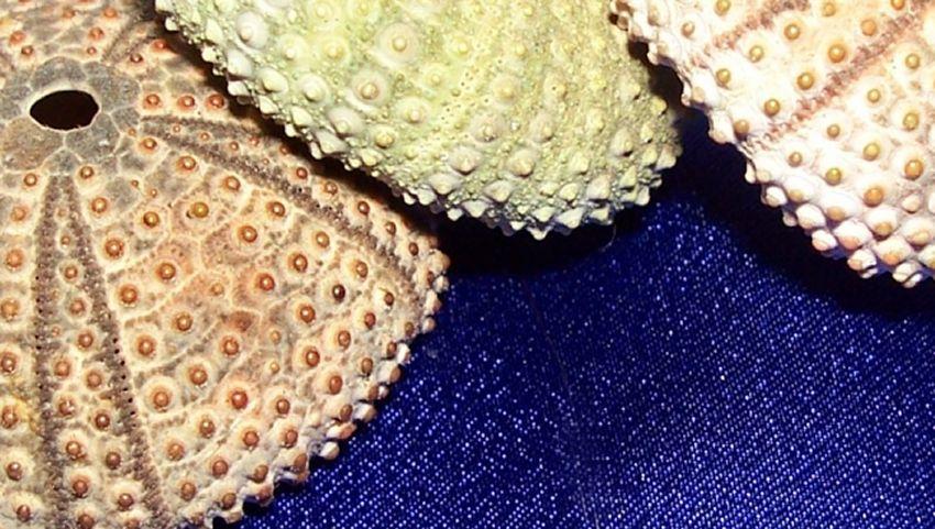 Urchin Study #1