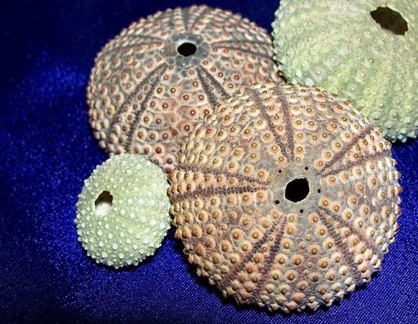 Urchin Study #2