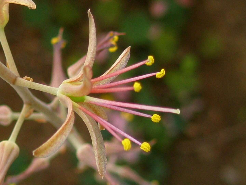 Urginea undulata