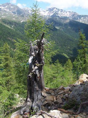 Urlärchen bei St. Gertraud im Ultental/Südtirol