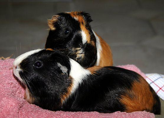 Urlaubsmeerschweinchen