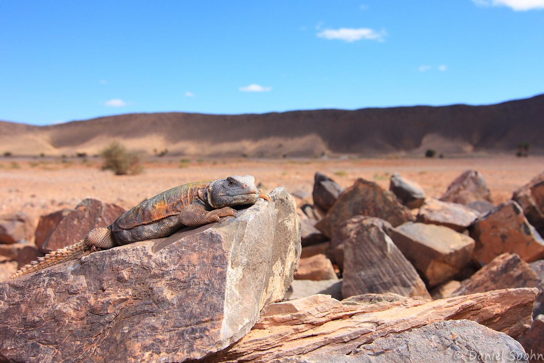 Uromastyx nigriventris - Marokko-Dornschwanzagame
