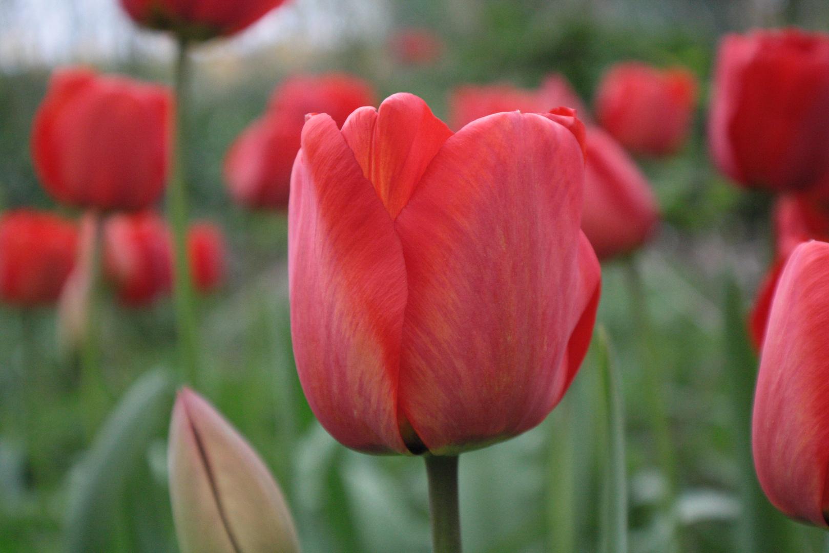 Uropas Tulpen