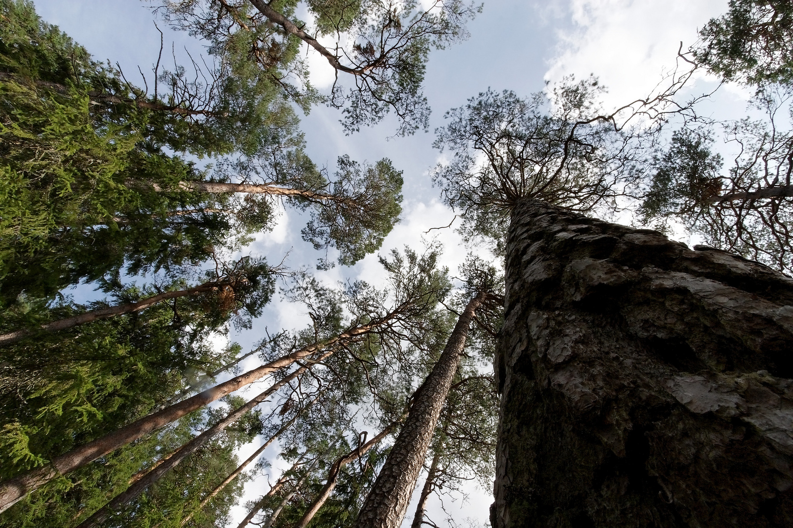 Urwald-Fichten, 250 Jahre alt