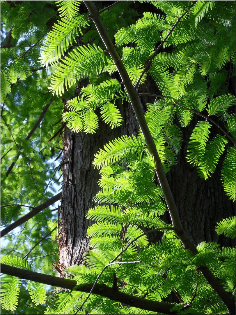 .. Urweltmammutbaum (Metasequoia glyptostroboides), Detail
