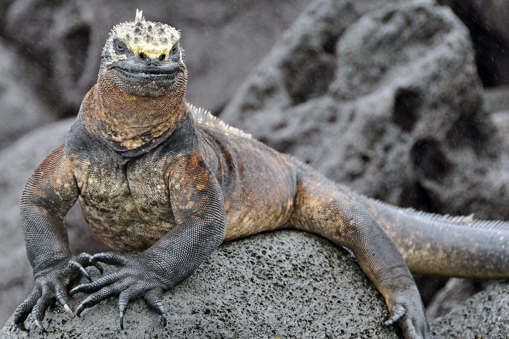 Urzeitdrachen auf Galapagos