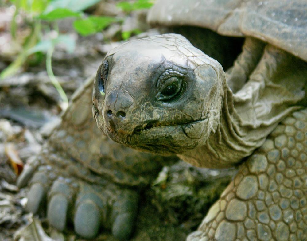 Urzeitlich und eindrucksvoll, Riesenschildkröten auf den Seychellen
