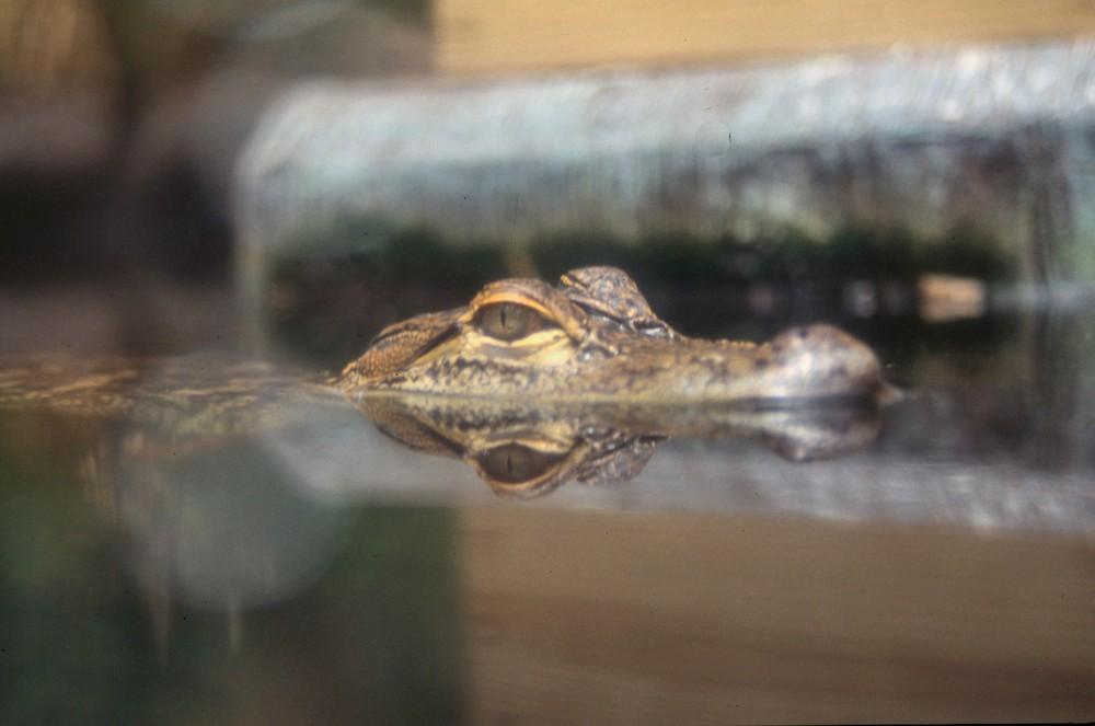 USA 2001 - MIAMI - a caccia di coccodrilli