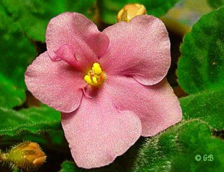 Usambara-Veilchenblüte