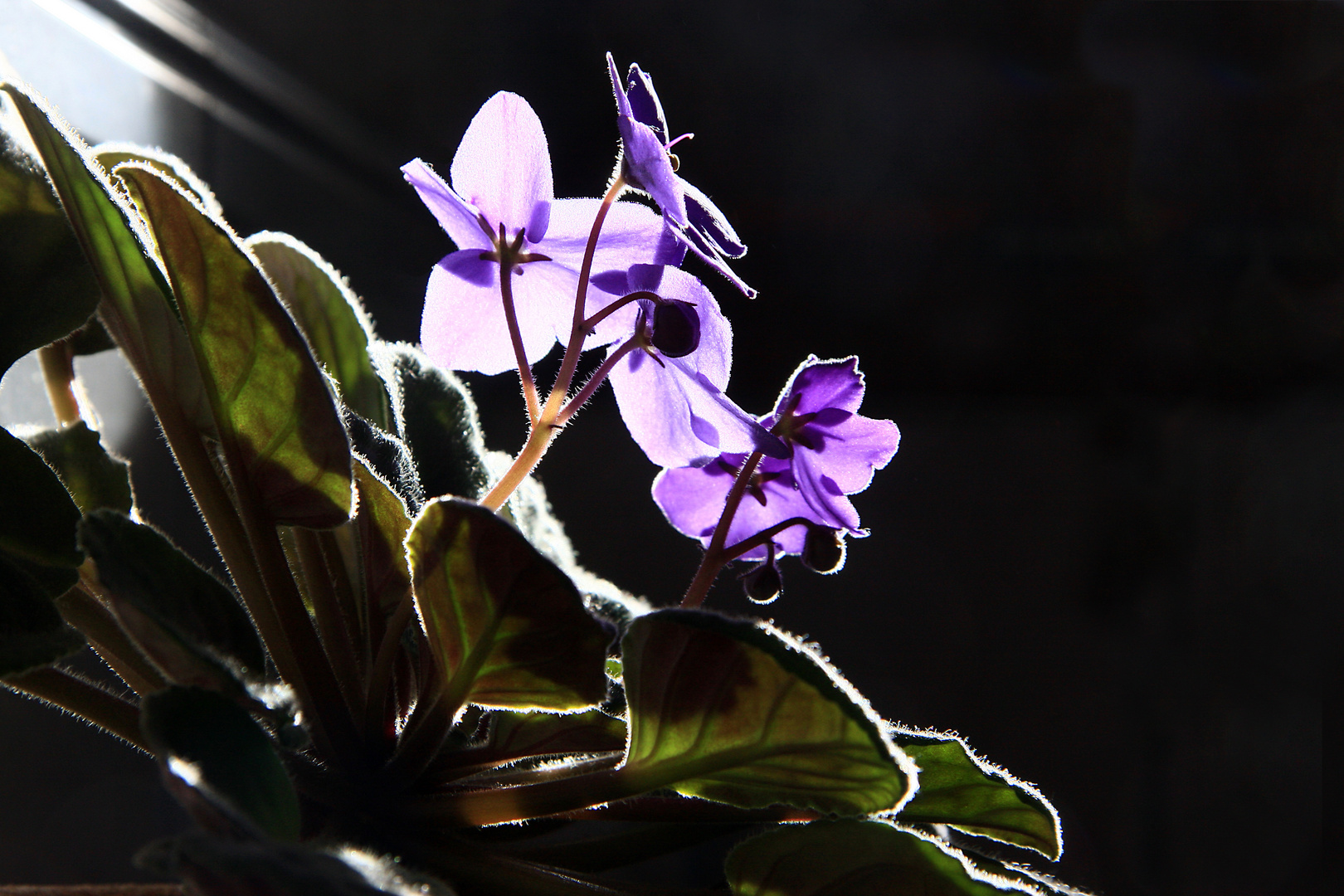 Usumbaraveilchen