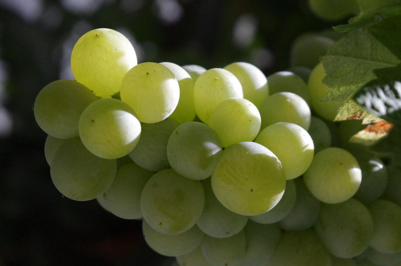 Uvas de parra