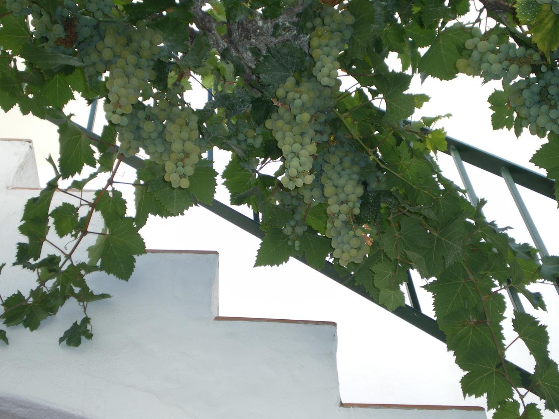 Uvas moscatel en la parra de mi patio