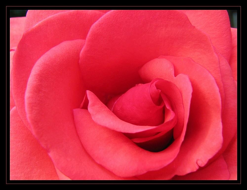 va donc voir si la rose ...
