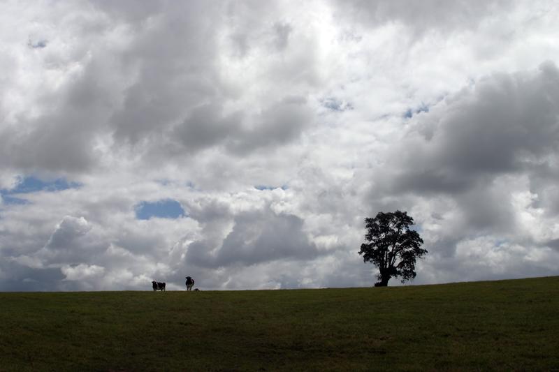 Vacas con Ulmo
