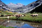 Vacas (Cow) en Ordesa 1