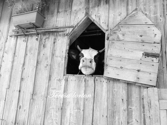 vache de Savoie