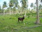 Vache égarée dans un champs de palmiers