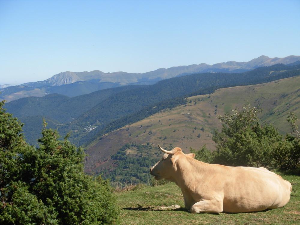 Vache qui médite !